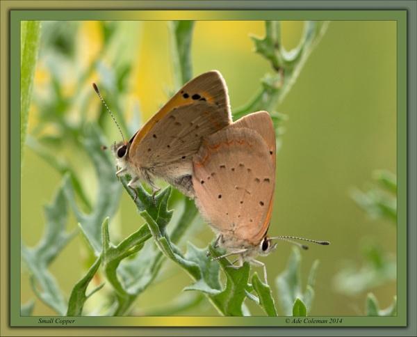Small Copper 4 by ade123