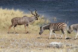 Namibia - Kudu 3