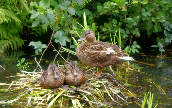 Mother duck and her ducklings. by pentaxpatty