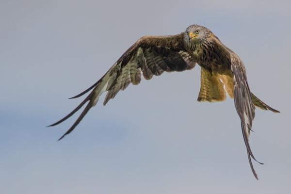 Red Kite Flying by karkley