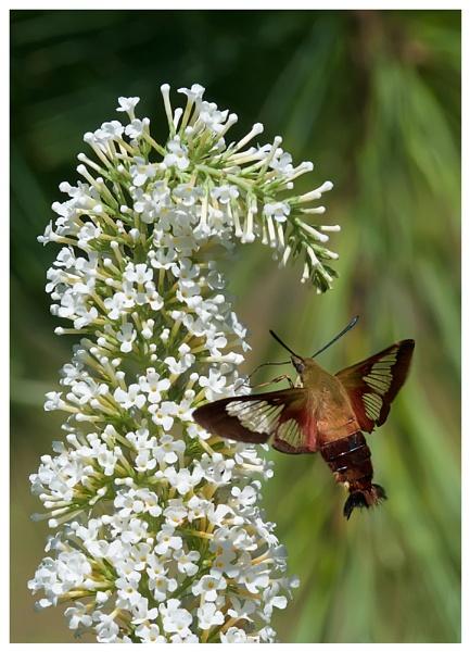 Hummingbird Moth in Flight by taggart