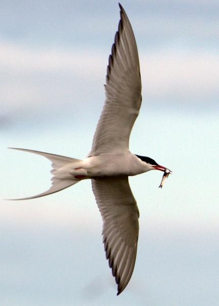 Artic Tern 2 by KenQuinn
