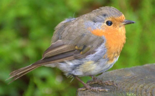 Juvenile Robin by KenQuinn