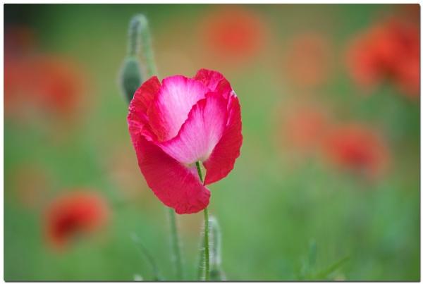 Poppy by cantona43