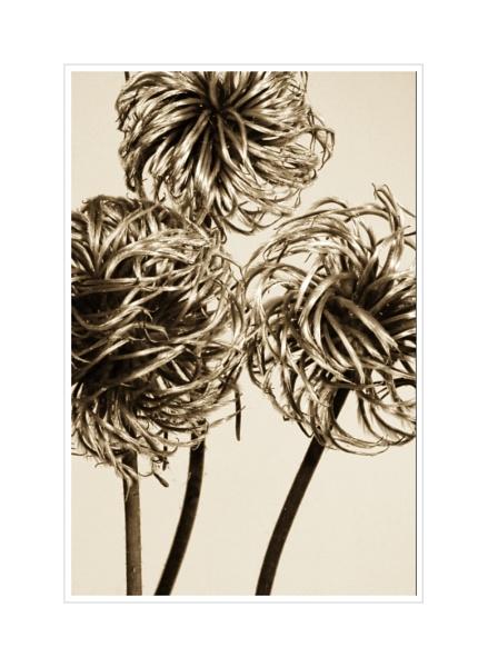 Alliums by dcash29
