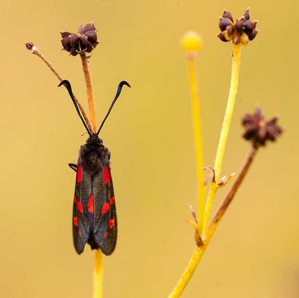 Burnet Moth by martin.w