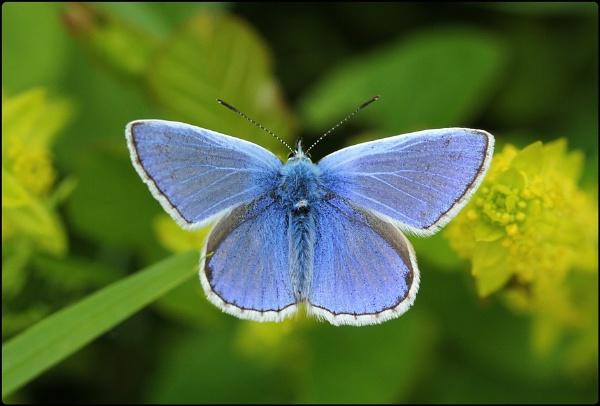 Common blue basking by Glostopcat