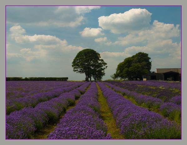 Lavender Field. by myrab