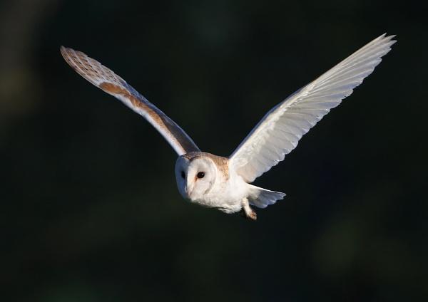 Linford Barn Owl by NeilSchofield