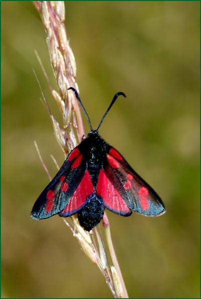 6-spot burnet moth - Zygaena filipendulae. by Badgerfred