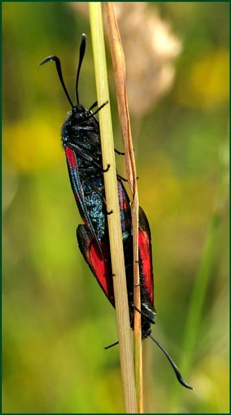 6-spot burnet moths-a mating pair. by Badgerfred