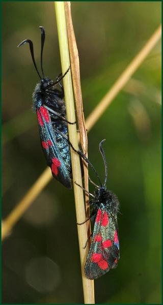 Pair of 6-spot burnet moths. by Badgerfred