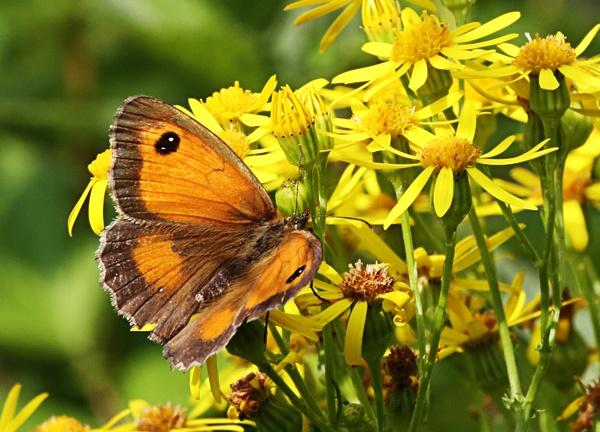 Gatekeeper Butterfly by Graham_Woolmer