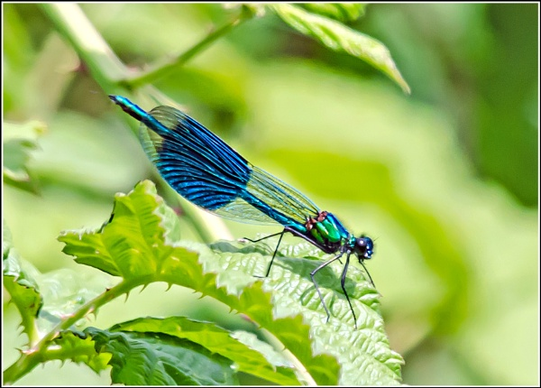Male Banded Demoiselle by delboy85