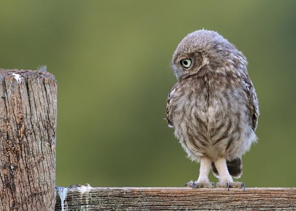 Little Owlet by Karen_Summers