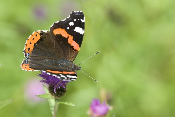 Red Admiral2 by POD