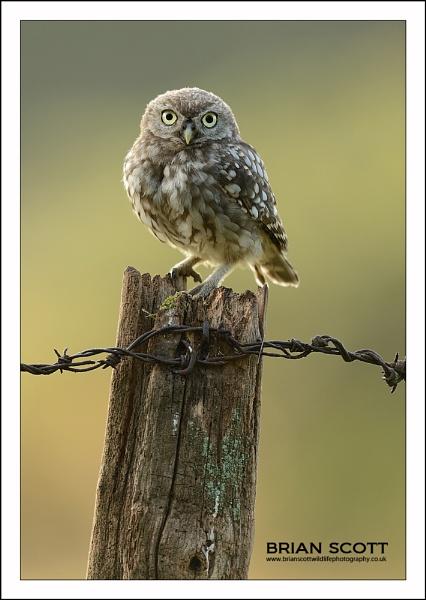Little Owlet by Brian_Scott