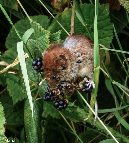 Havest Mouse feeding by MariaElaine