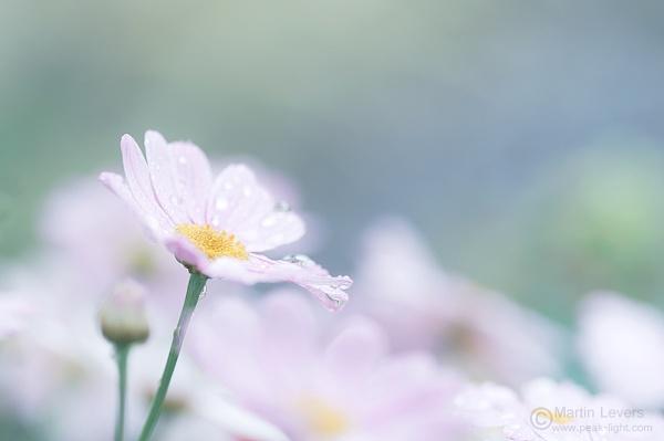 Daisy by martinl