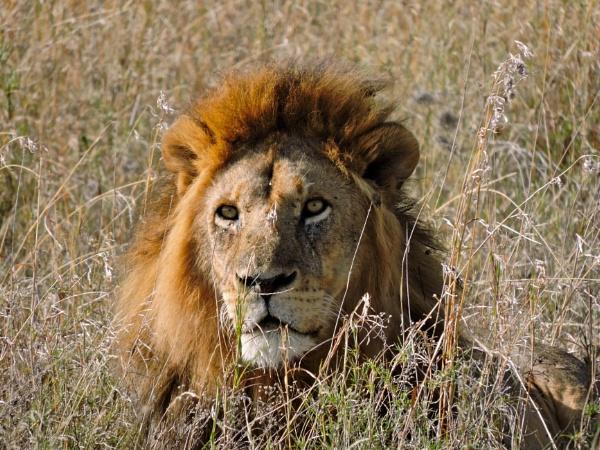 King of The Serengeti by StuartDavie