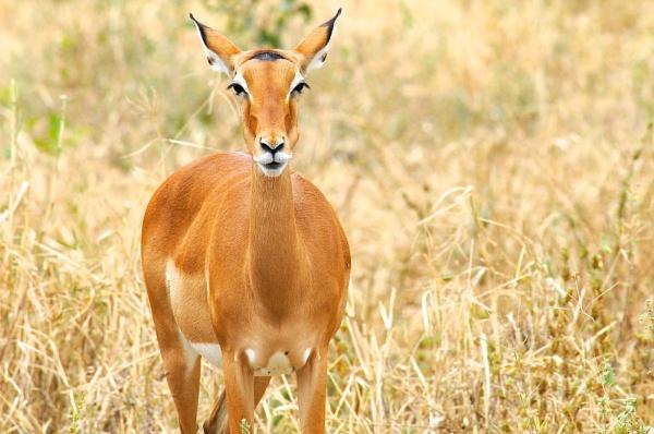 Impala on the Serengeti by StuartDavie