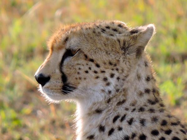 Cheetah Hunting by StuartDavie
