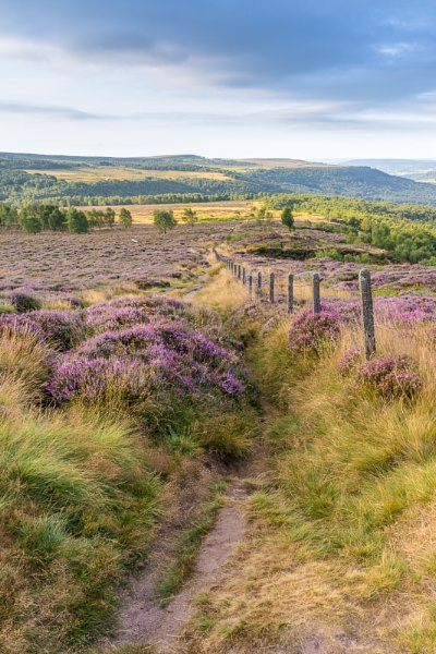 Heather on Hathersage Moor by DalesLass