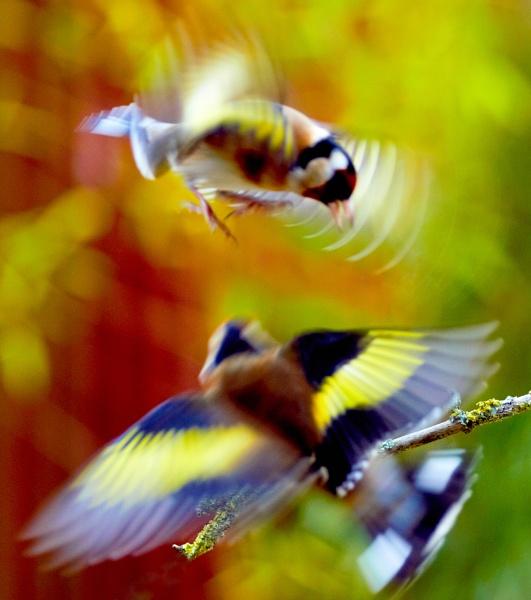 Goldfinch Blur by gowebgo