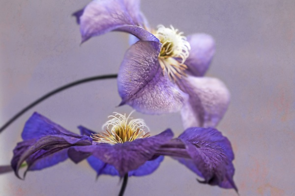 Clematis Star of India by WeeGeordieLass