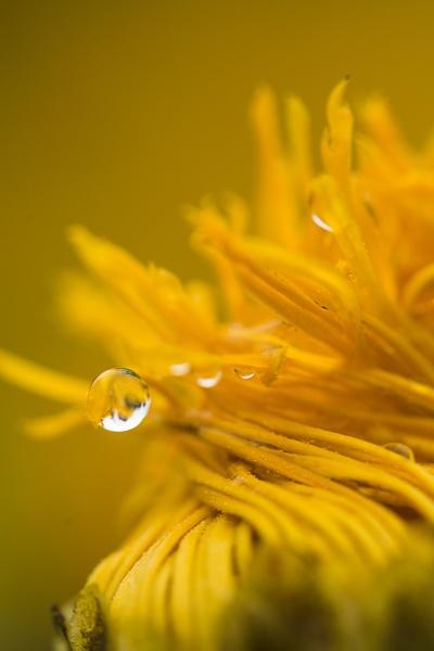 Lemon Drop by WeeGeordieLass