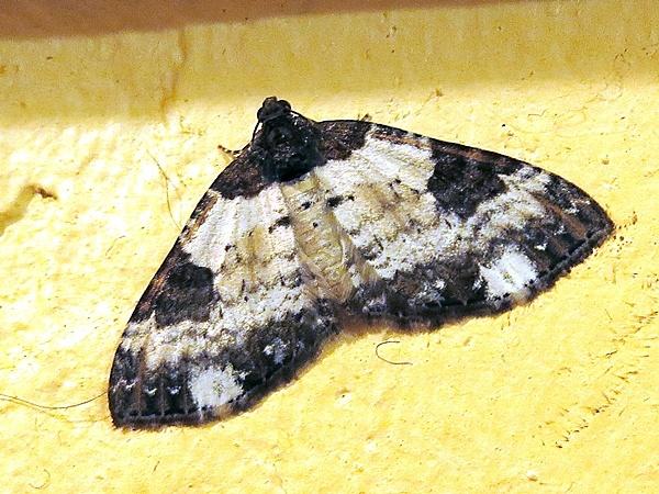 Pretty Chalk Carpet Moth