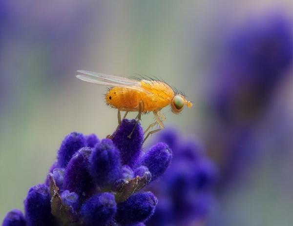 Fruit fly by lfc1892