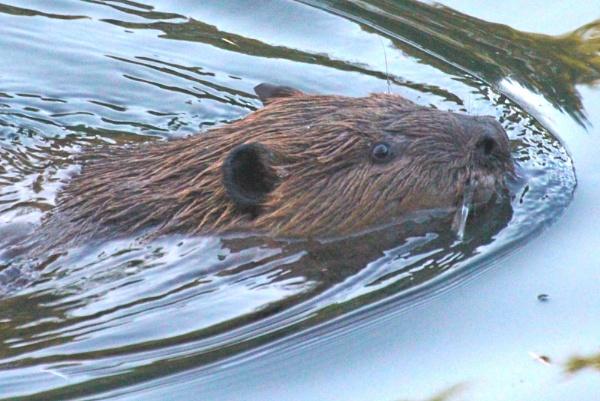Beaver retired by tonyguitar