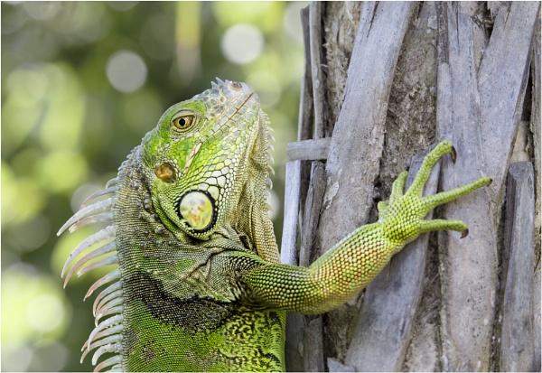 Iguana by kel55
