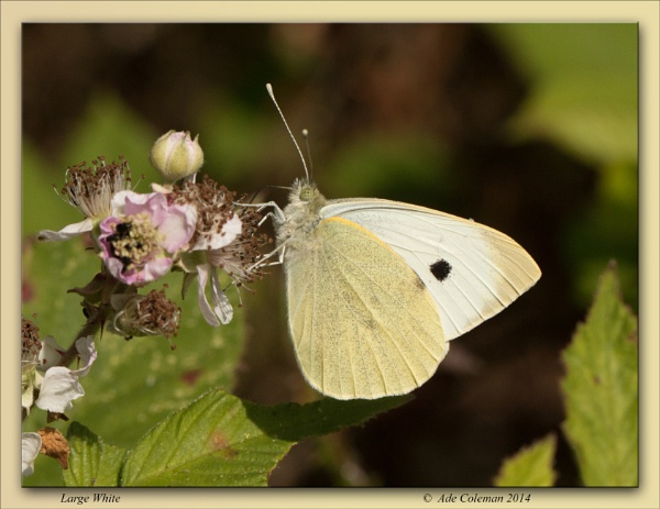 Large White by ade123