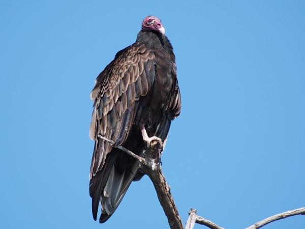 Turkey Vulture, Pelee Island by Xmplary
