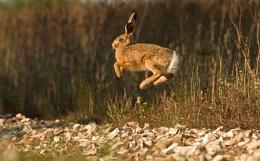Airborne Juvenile Hare