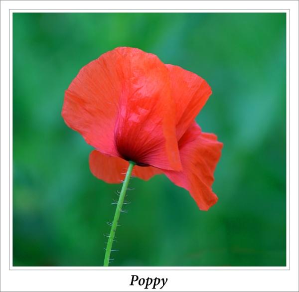 Lone Poppy by cantona43