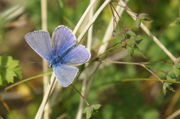 Common Blue by betttynoir