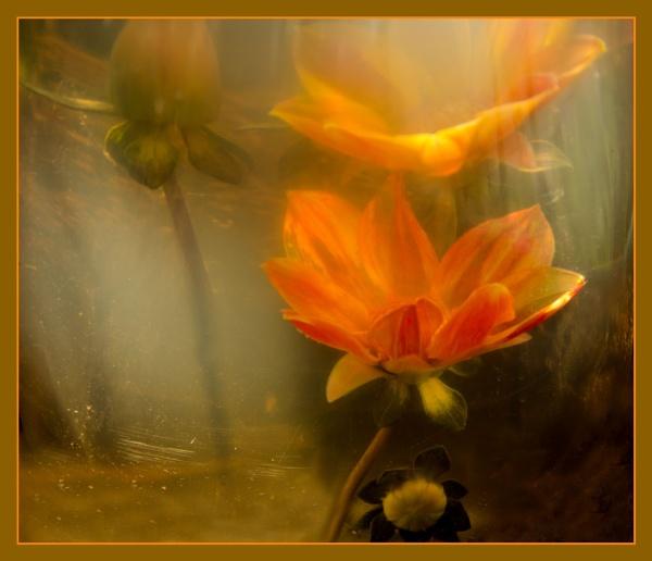 Underwater Dahlia. by myrab