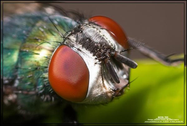 Venus Eye Trap (not Venus Fly Trap)... by Paul_Iddon