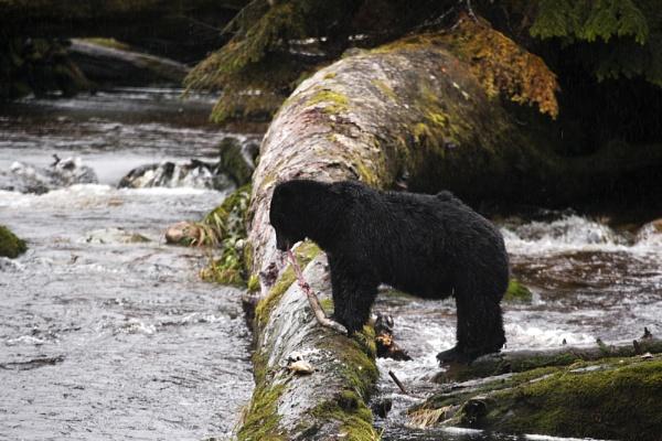 Black Bear Lunch. by rontear