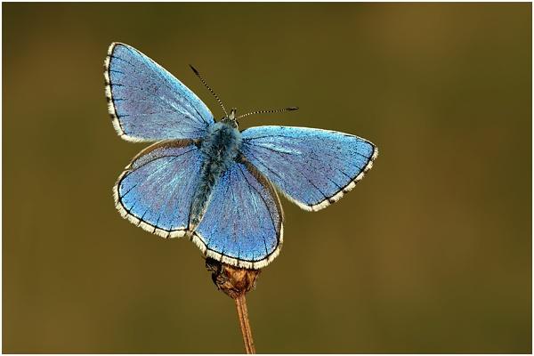Adonis Blue by NigelKiteley