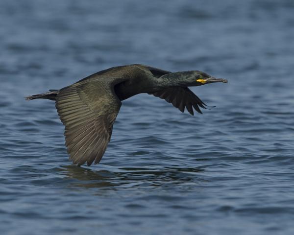 Shag in Flight by hasslebladuk