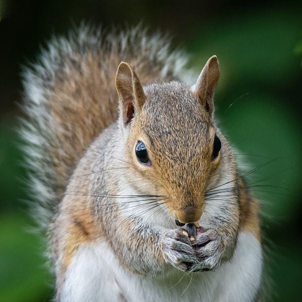Grey Squirrel by Philo