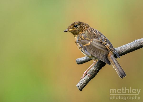 Juvenile Robin by Philo