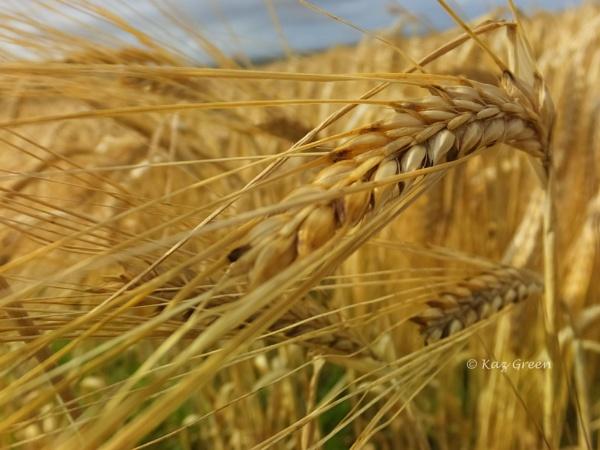Nearly harvest time by kaz1