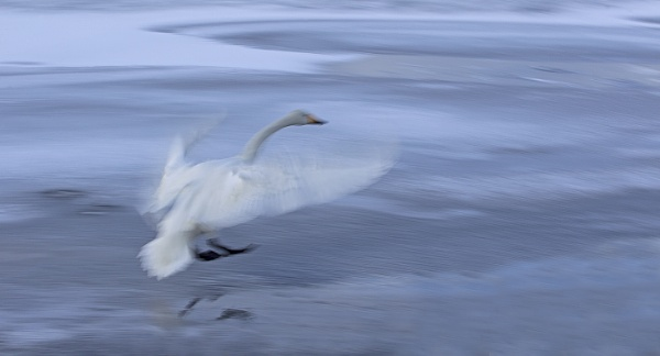 Whooper swan coming into land by hibbz