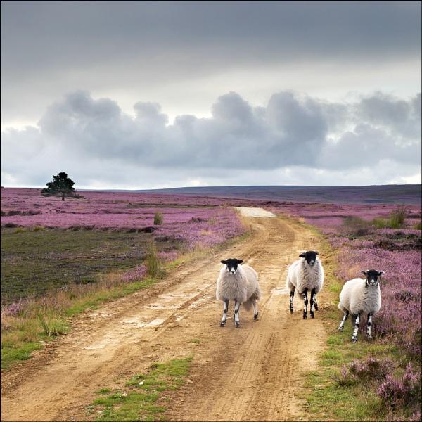 heather moors III by Jon.H