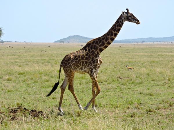 Giraffe on the Serengeti by StuartDavie